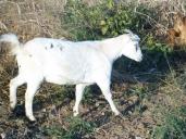 Fainting Goat Colors