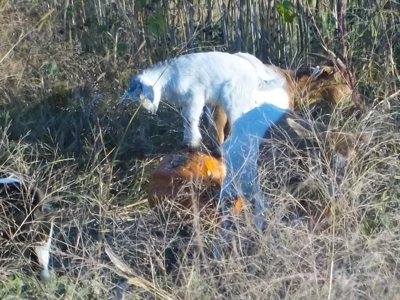 Basic Goat Care.
