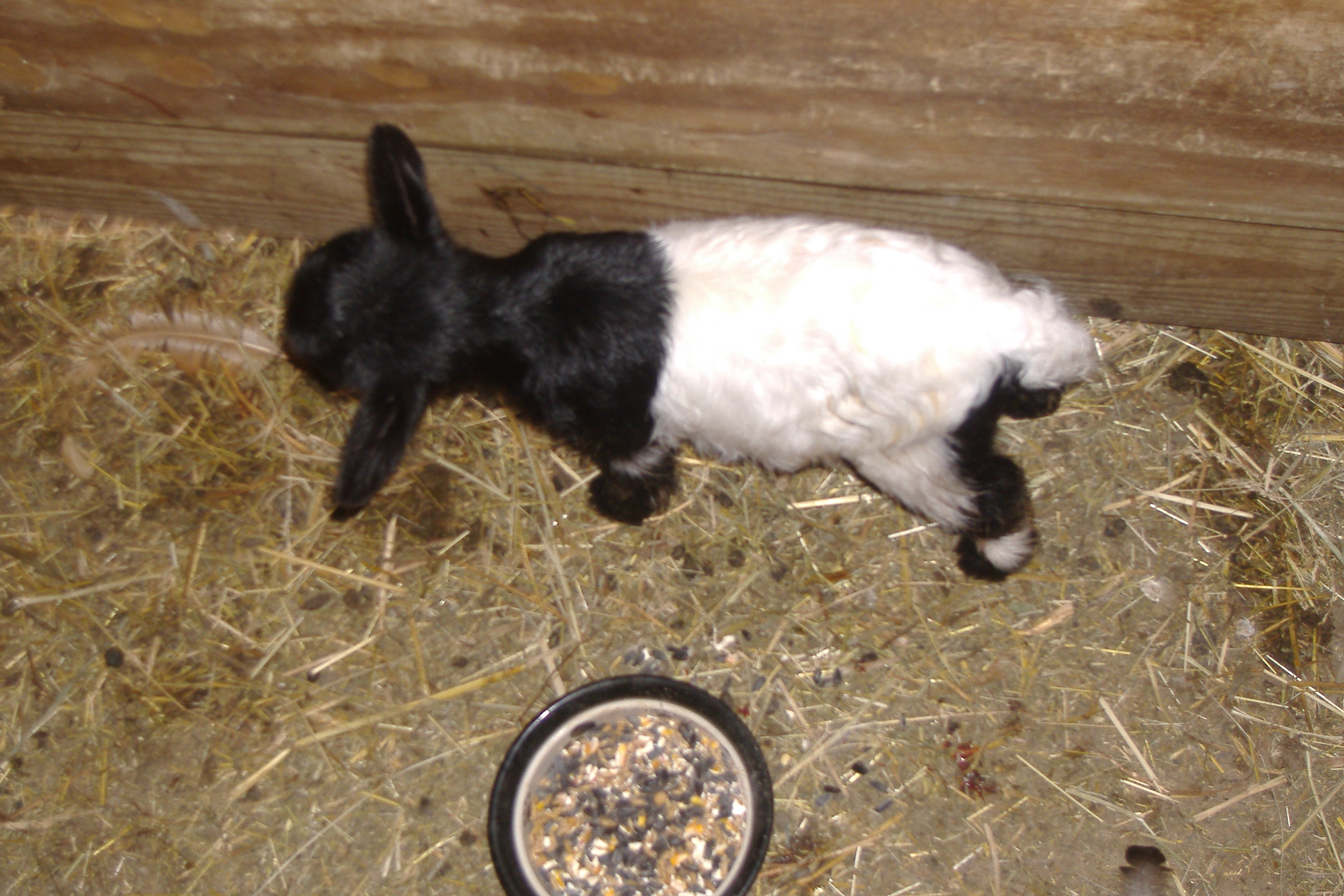 The Far Most Common Color In Fainting Goat A Very Pattern Is Black Head Neck And White Back Behind